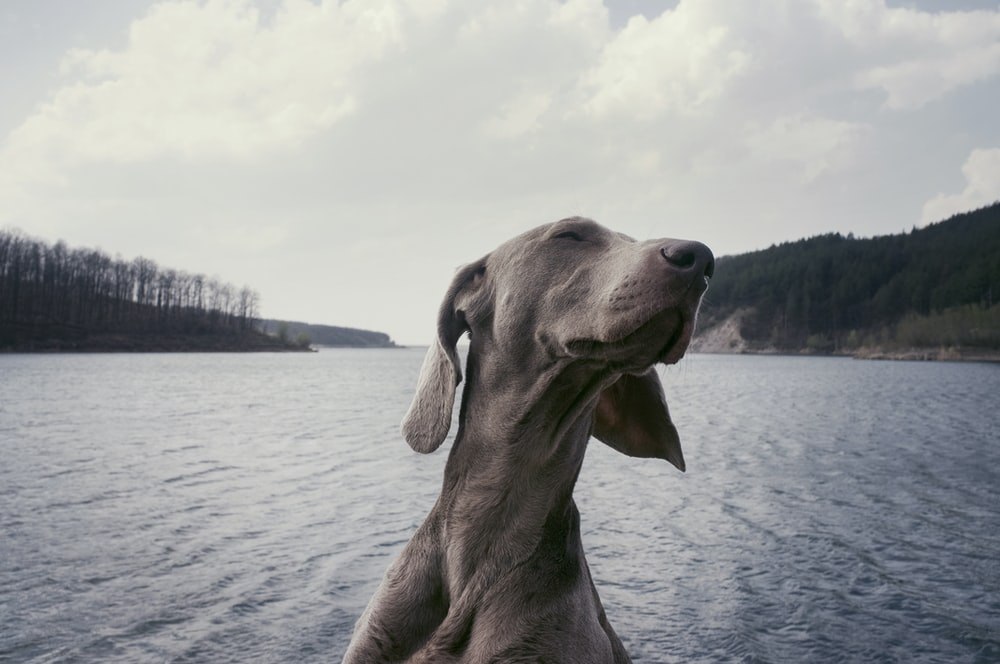 grayscale photography of short-coated dog