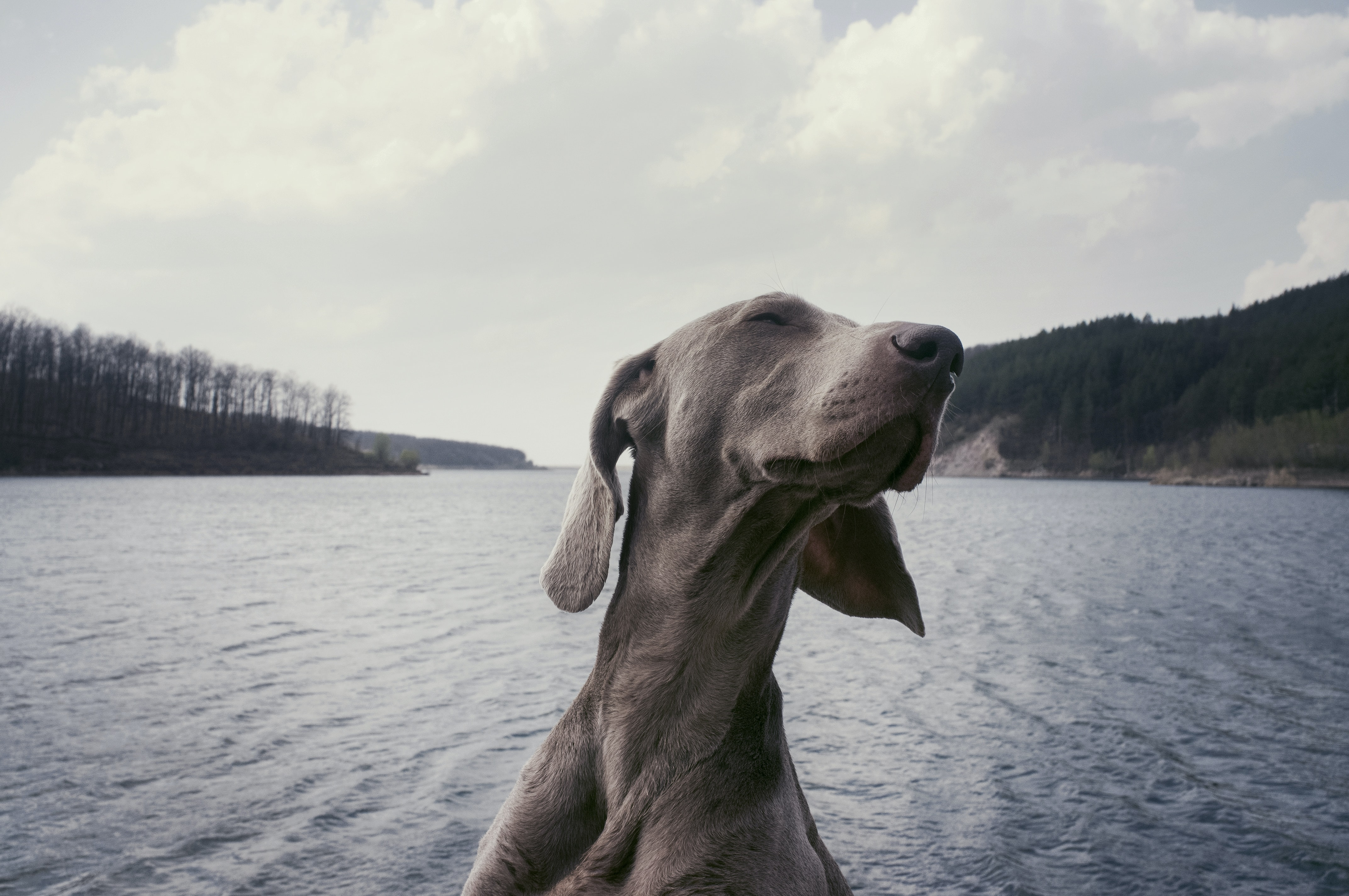 A Weimaraner over a choppy lake on a cloudy day