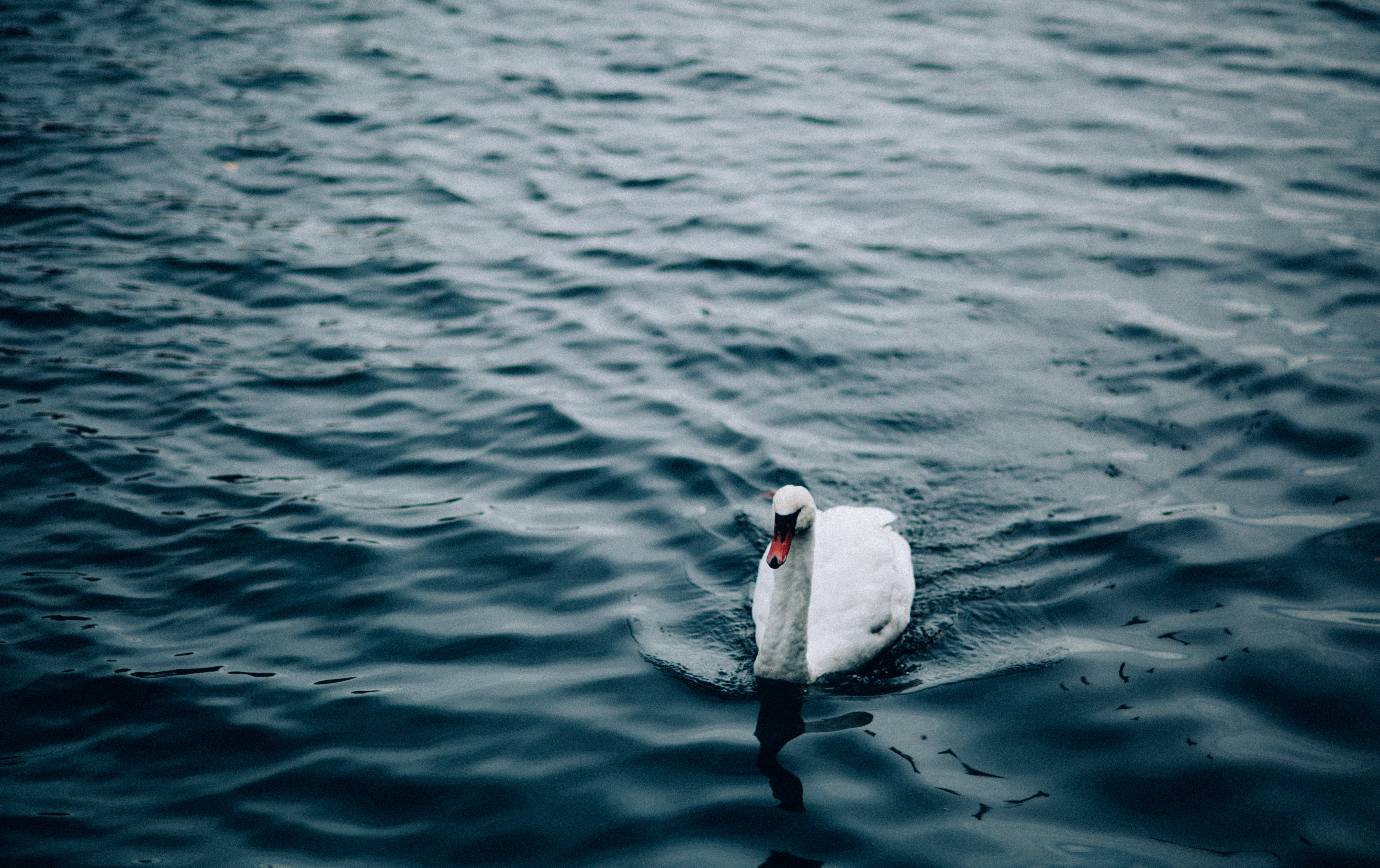goose in body of water