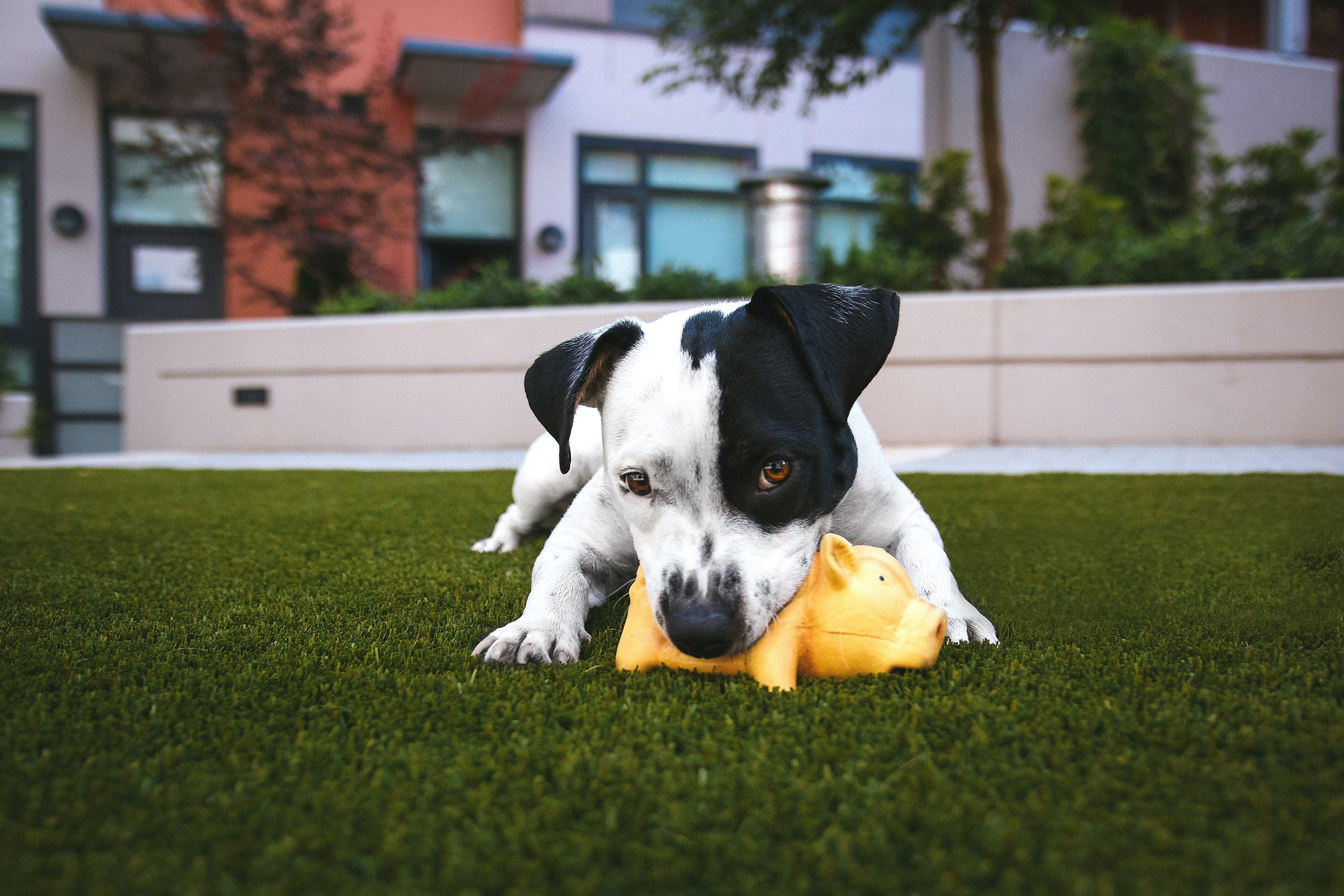 A small puppy playing with a yellow toy pig on a green lawn