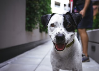 white and black American pit bull terrier at daytime