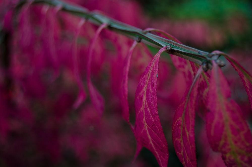 pink leaf plants