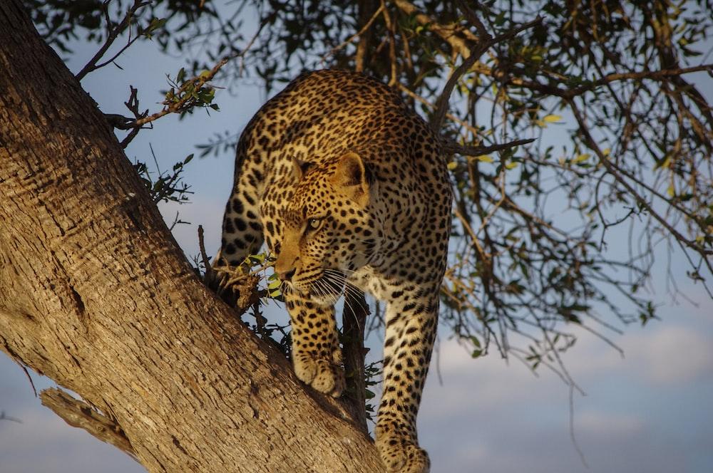 Jaguar on tree during day