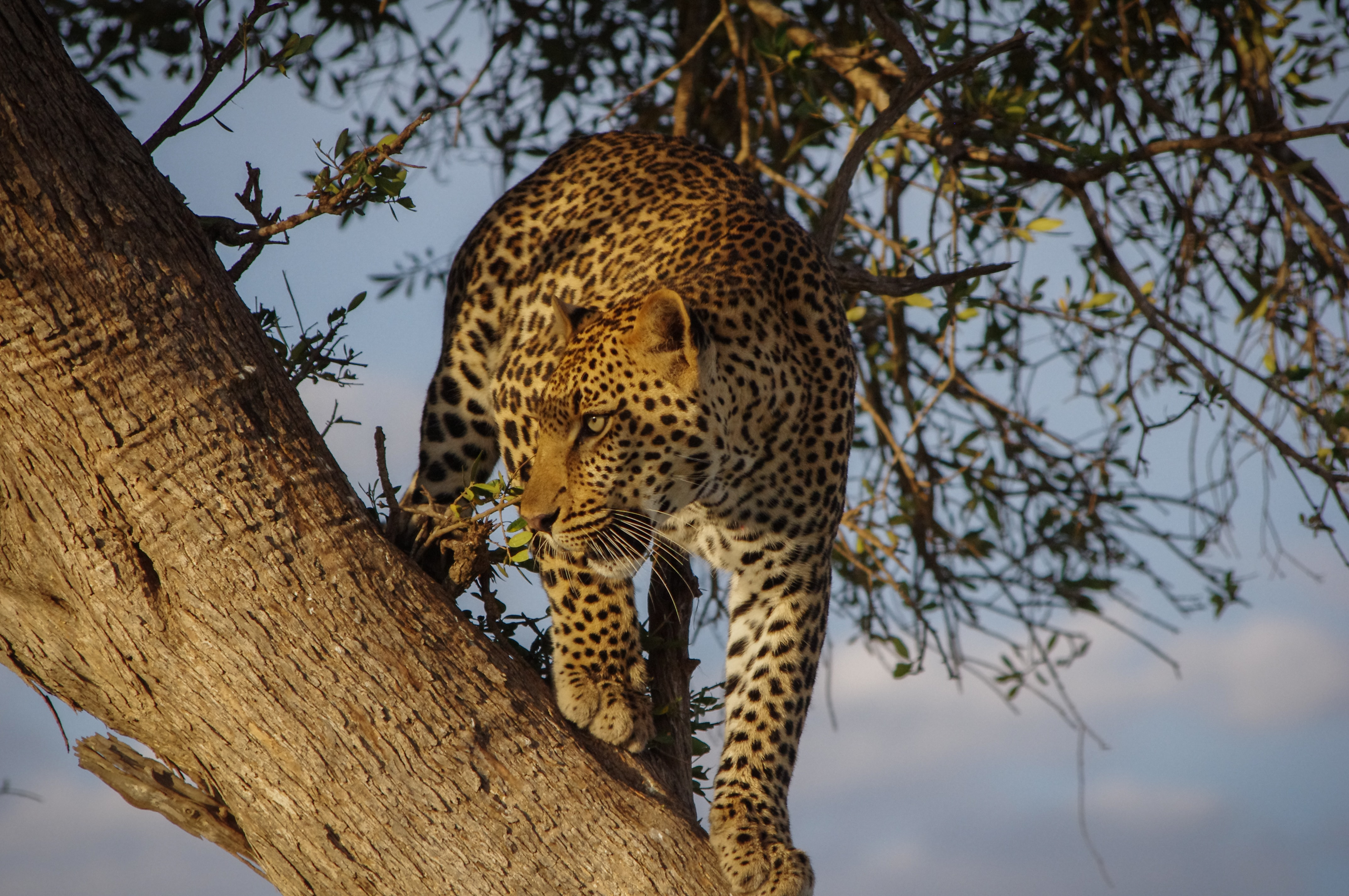 Leopard perched in a tree stalks its prey from above in Masai Mara Game Reserve
