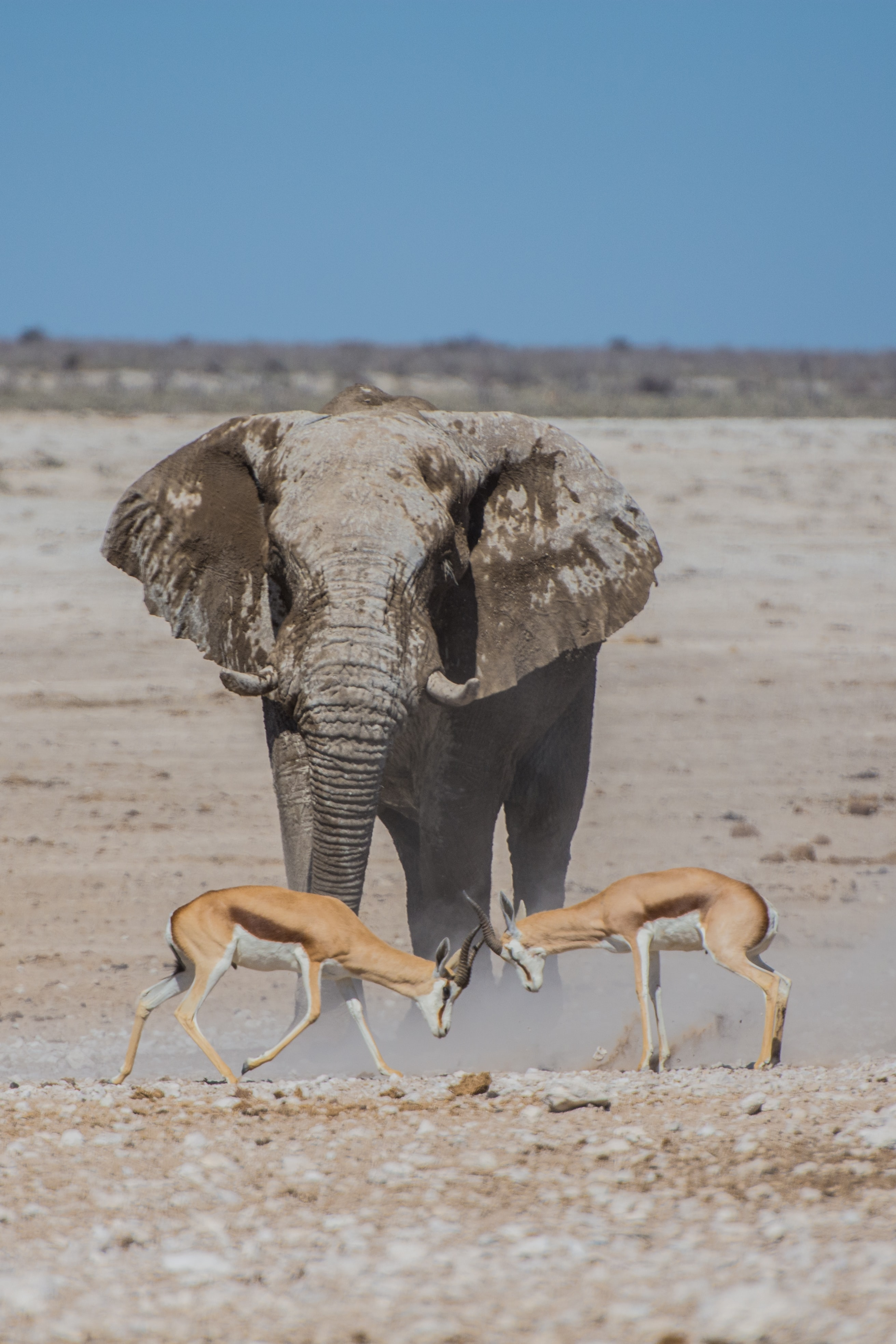 Two antelopes locking their horns in front of an elephant in a national park
