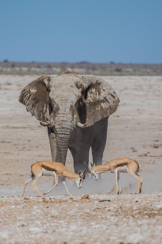 gray elephant near two deers