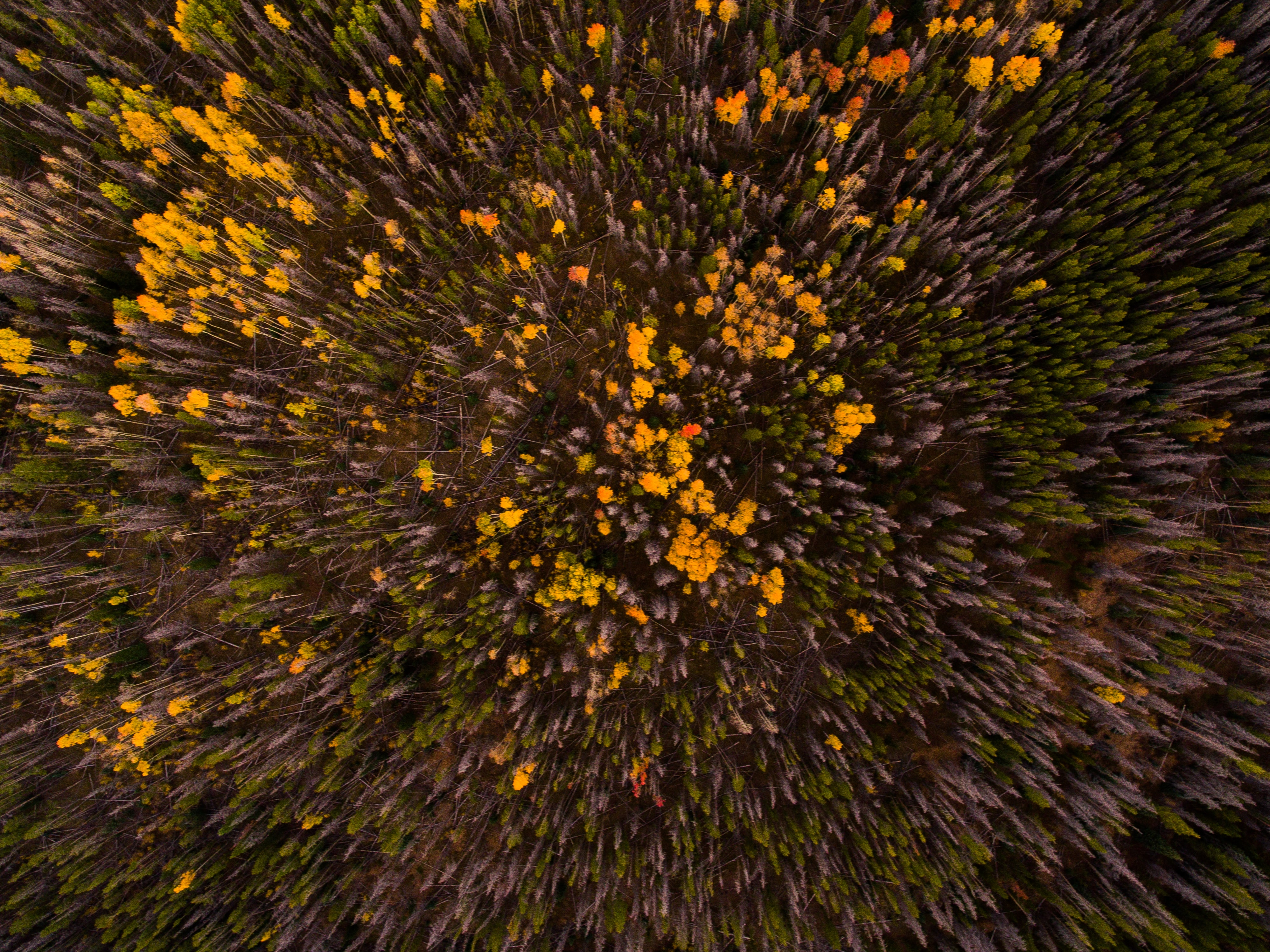 A drone shot of a forest with colorful leaf canopies in Silverthorne