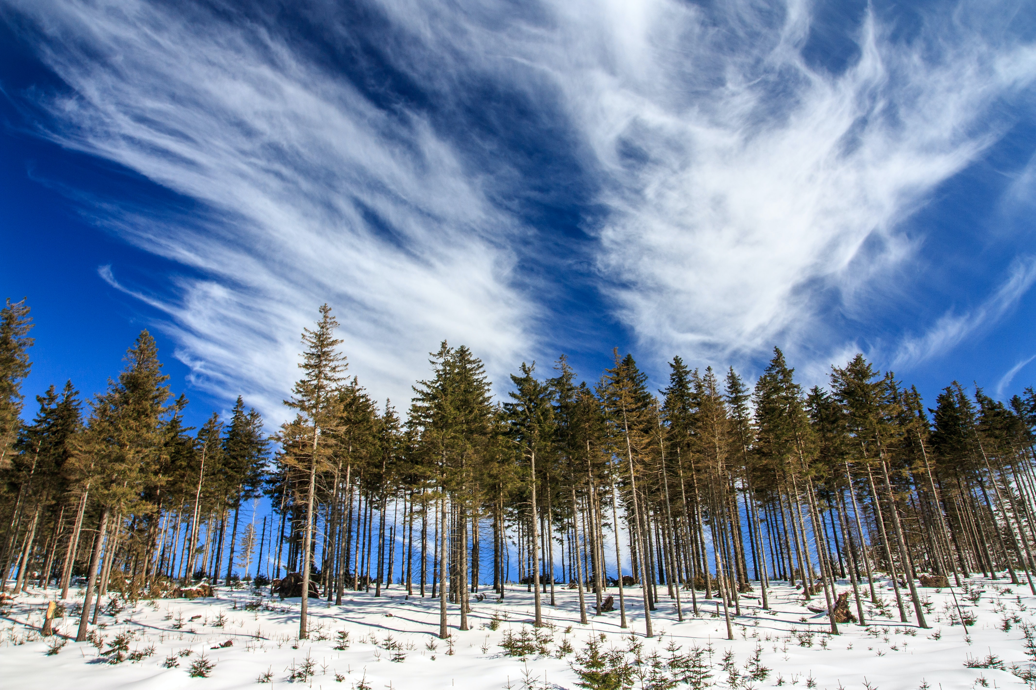 A treeline photo capturing a clear treed forest with snow covered grounds on a cloudy day