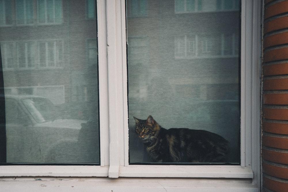 short-fur black and cat near closed window