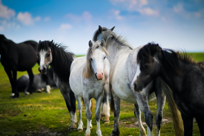 Horse herd in Wales