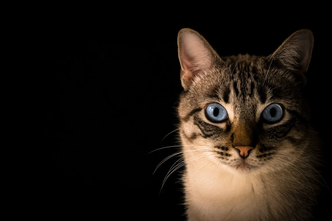 A blue-eyed tabby cat's face against a black background