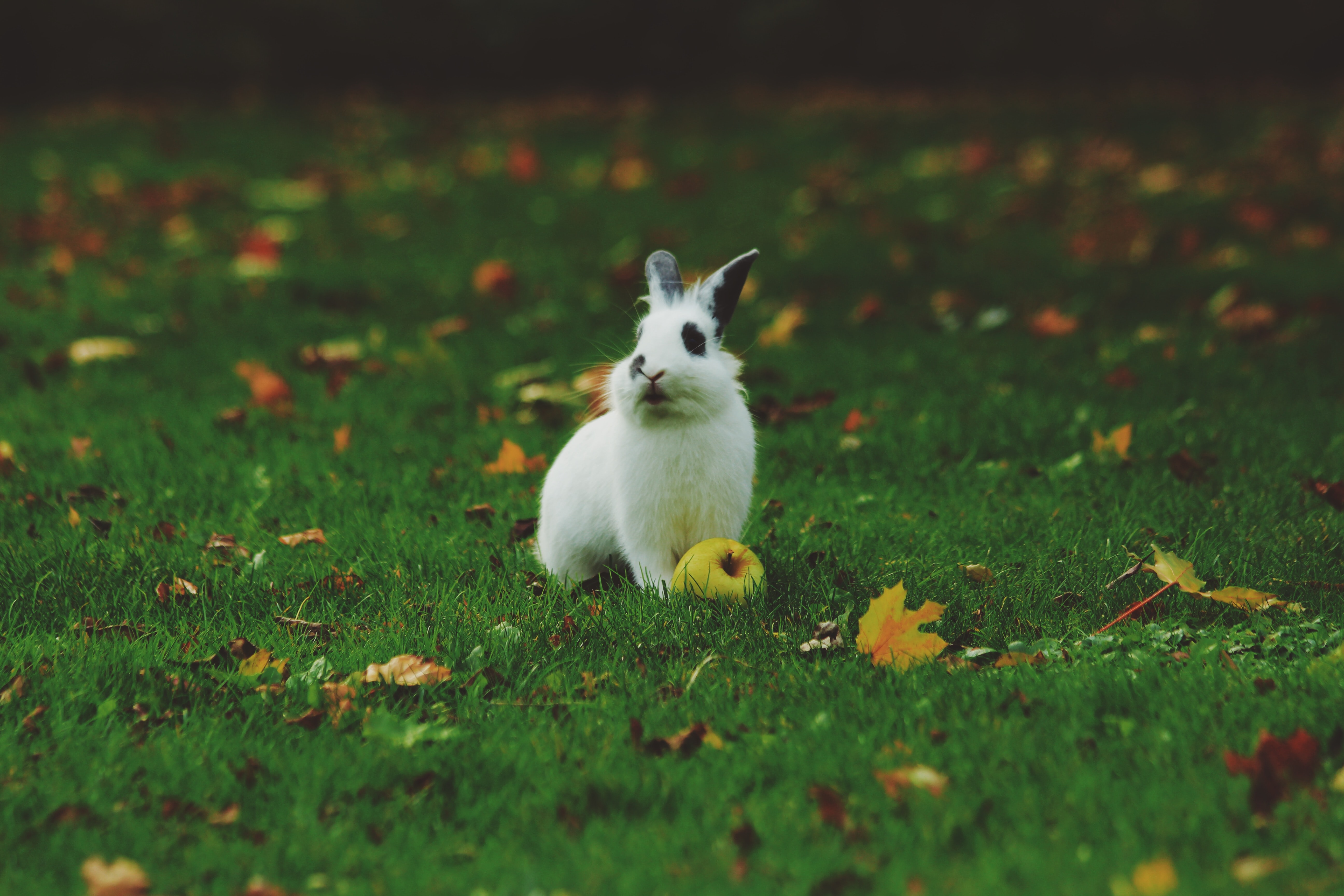 A white rabbit with black spotted eyes beside a fallen green apple on cut grass and autumn leaves