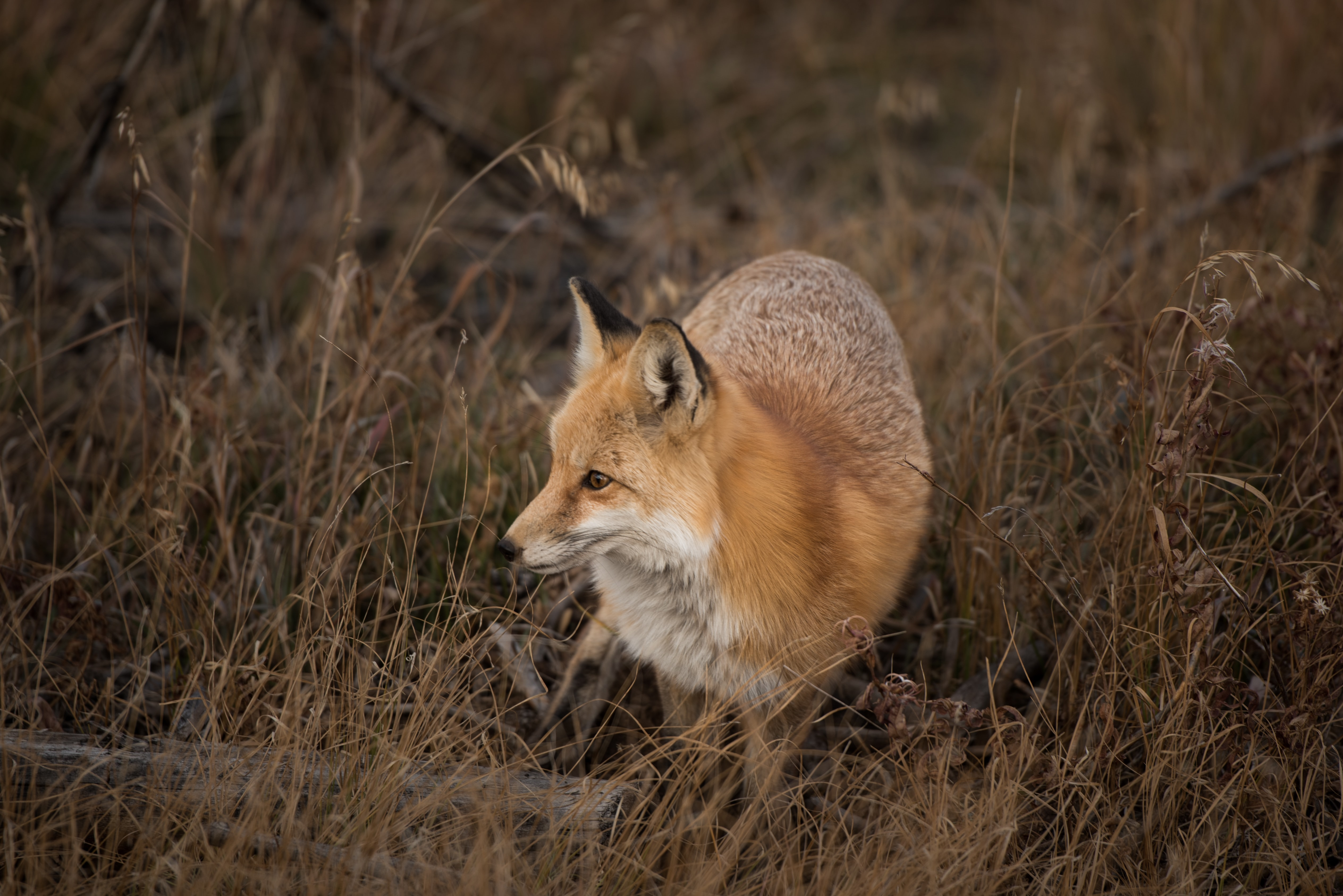 A vigilant fox standing in tall brown grass in Silverthorne