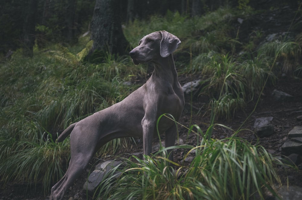 adult greyhound on forest during daytime