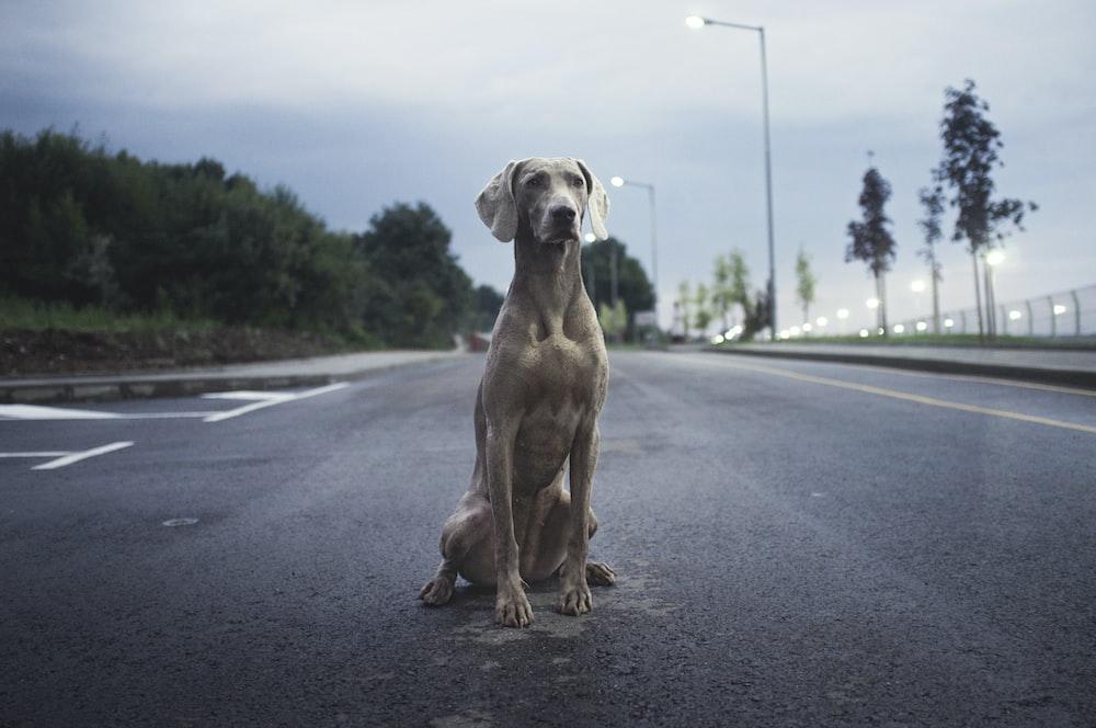 men's brown weimaraner dog on gray asphalt road