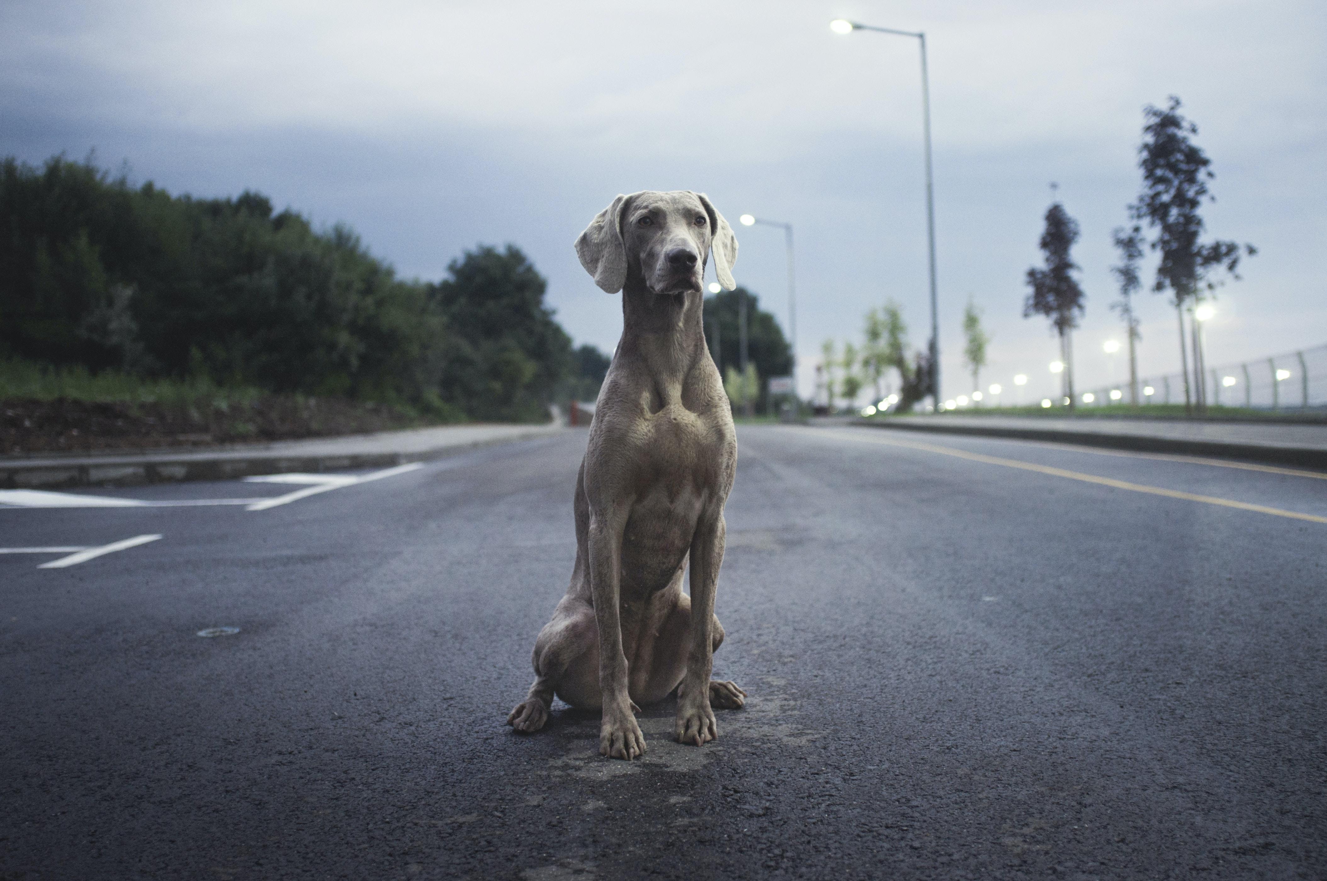 A watchful Weimaraner sitting on asphalt in the evening