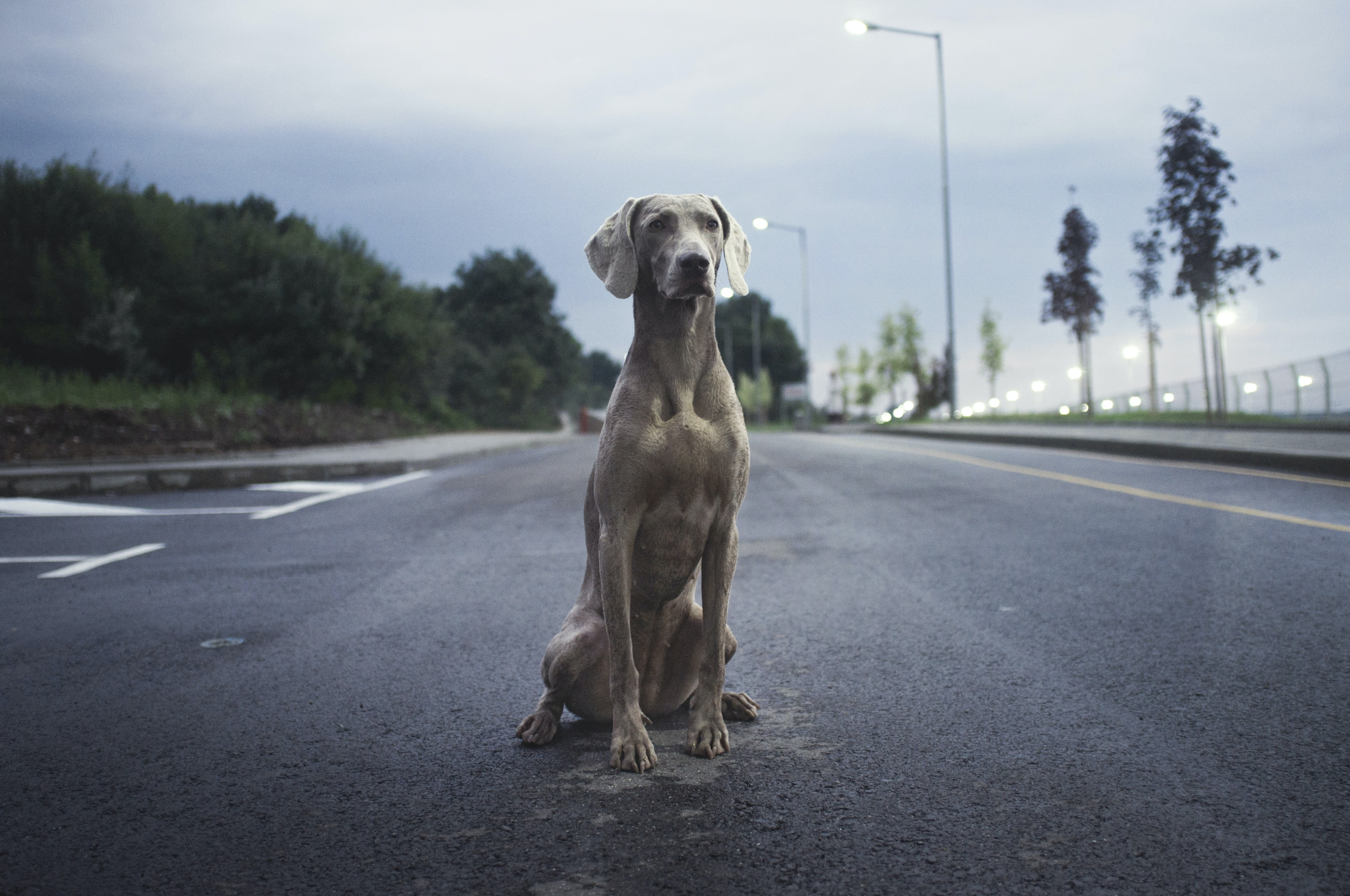 A watchful Weimaraner sitting on asphalt in the evening