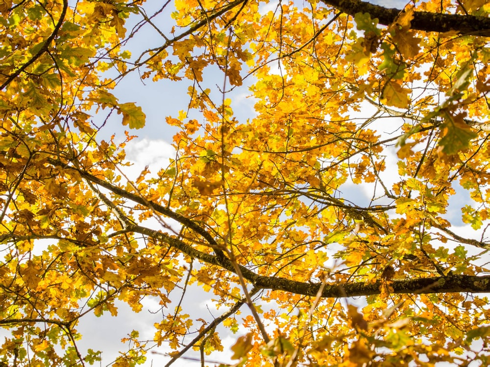 yellow-leafed trees under white clouds