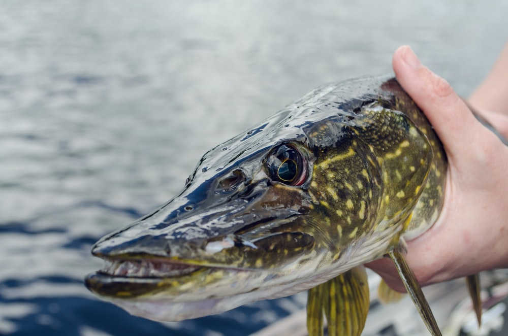 green and gray spotted fish