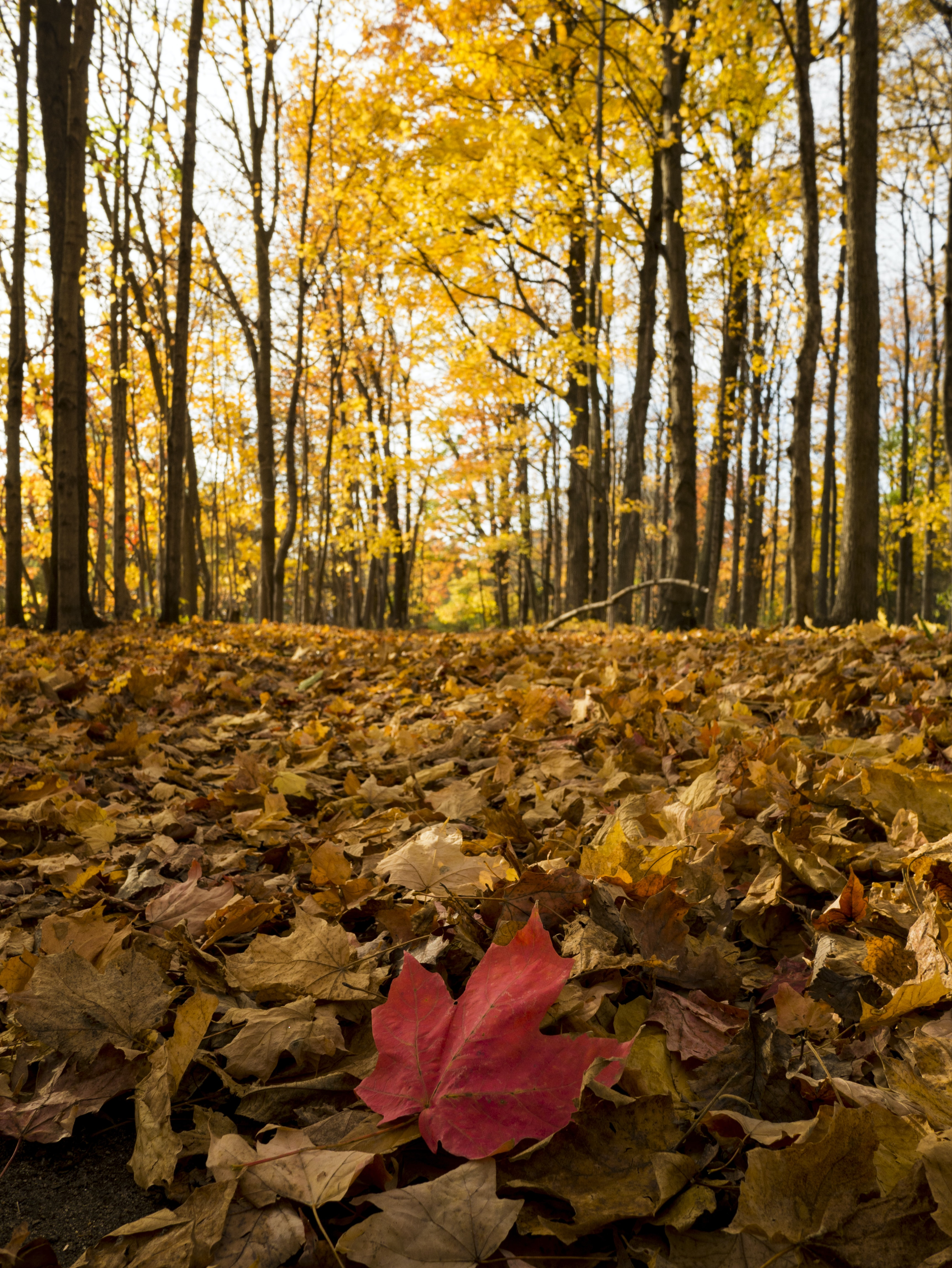 A red leaf among many orange leaves on the ground near a forest.