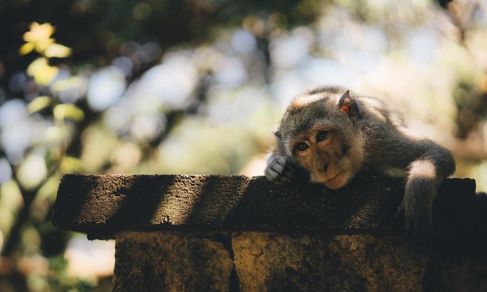 monkey laying on wall