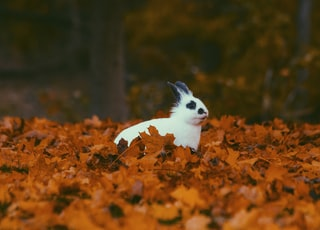 white and black rabbit surrounded by brown dried leaves