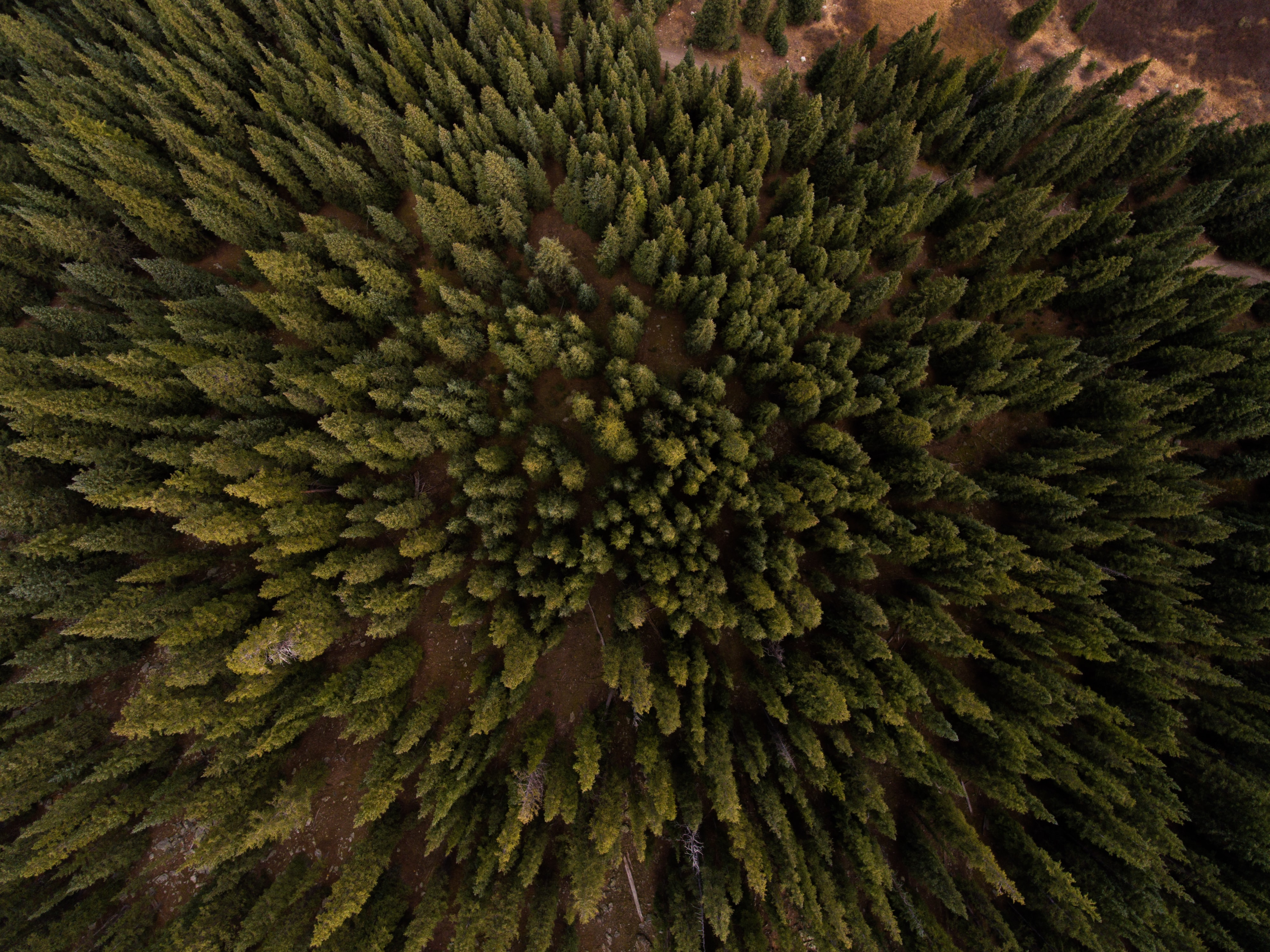 A drone shot of tall evergreen trees in Frisco, Colorado