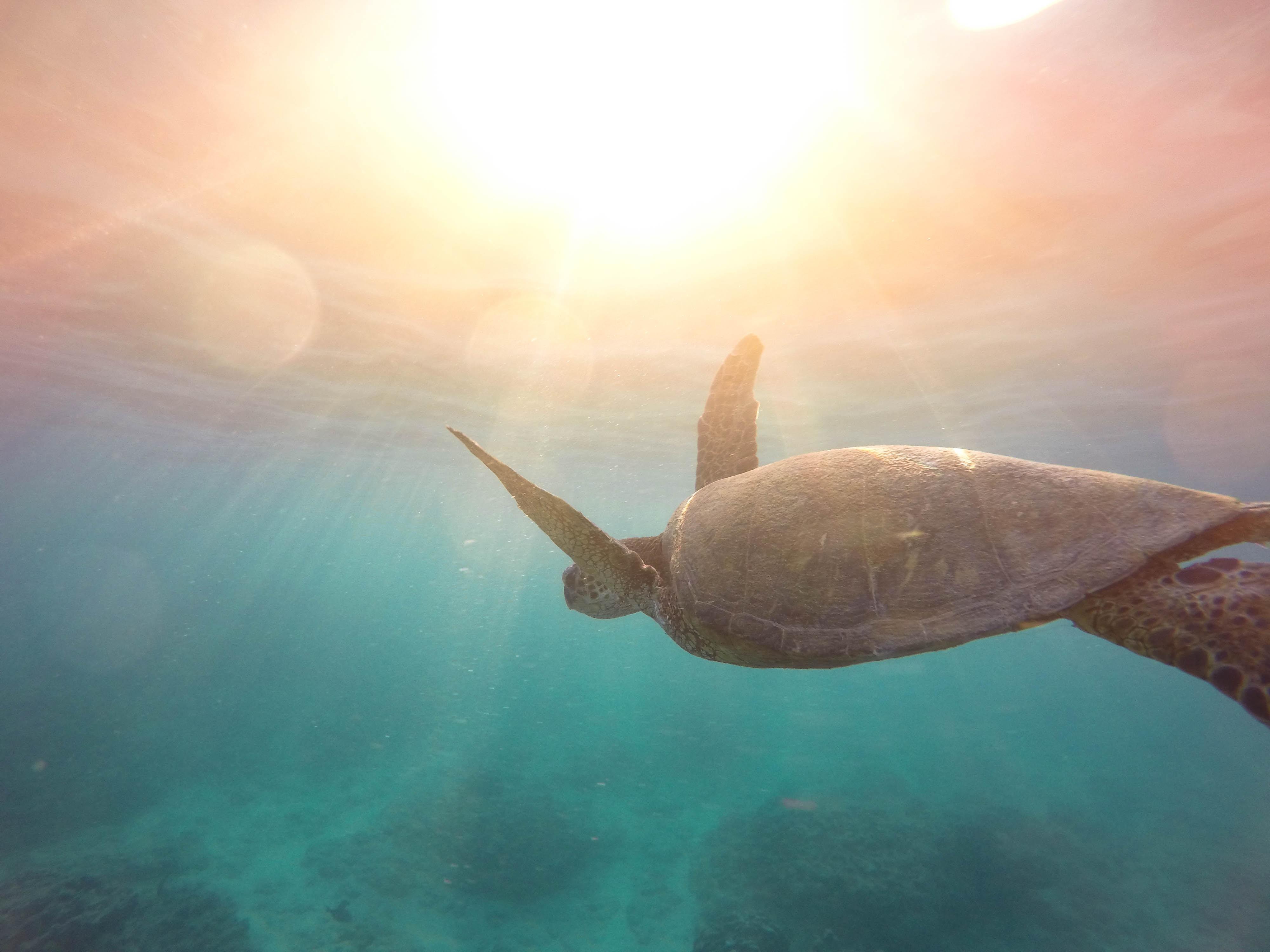 green turtle swimming on ocean