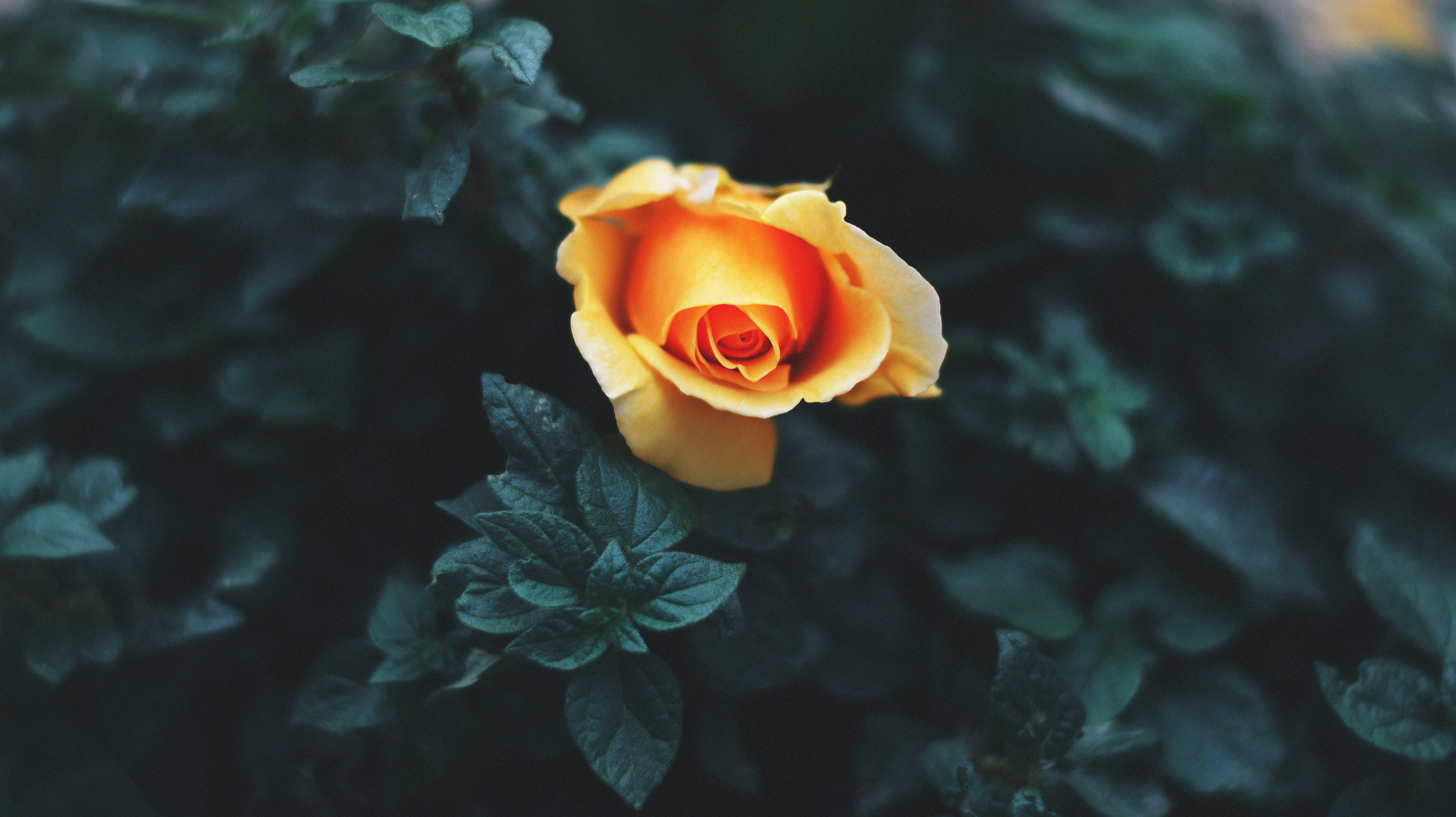 An orange rose-like flower among dark green leaves