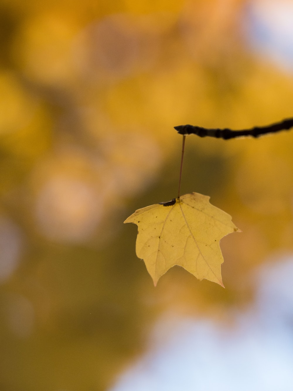 selective focus photo of maple leaf