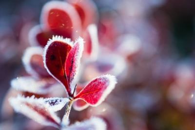 red-leaf plant frost zoom background