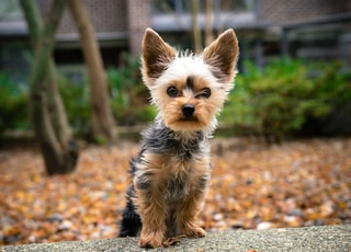 black and tan yorkshire terrier puppy on ground during daytime