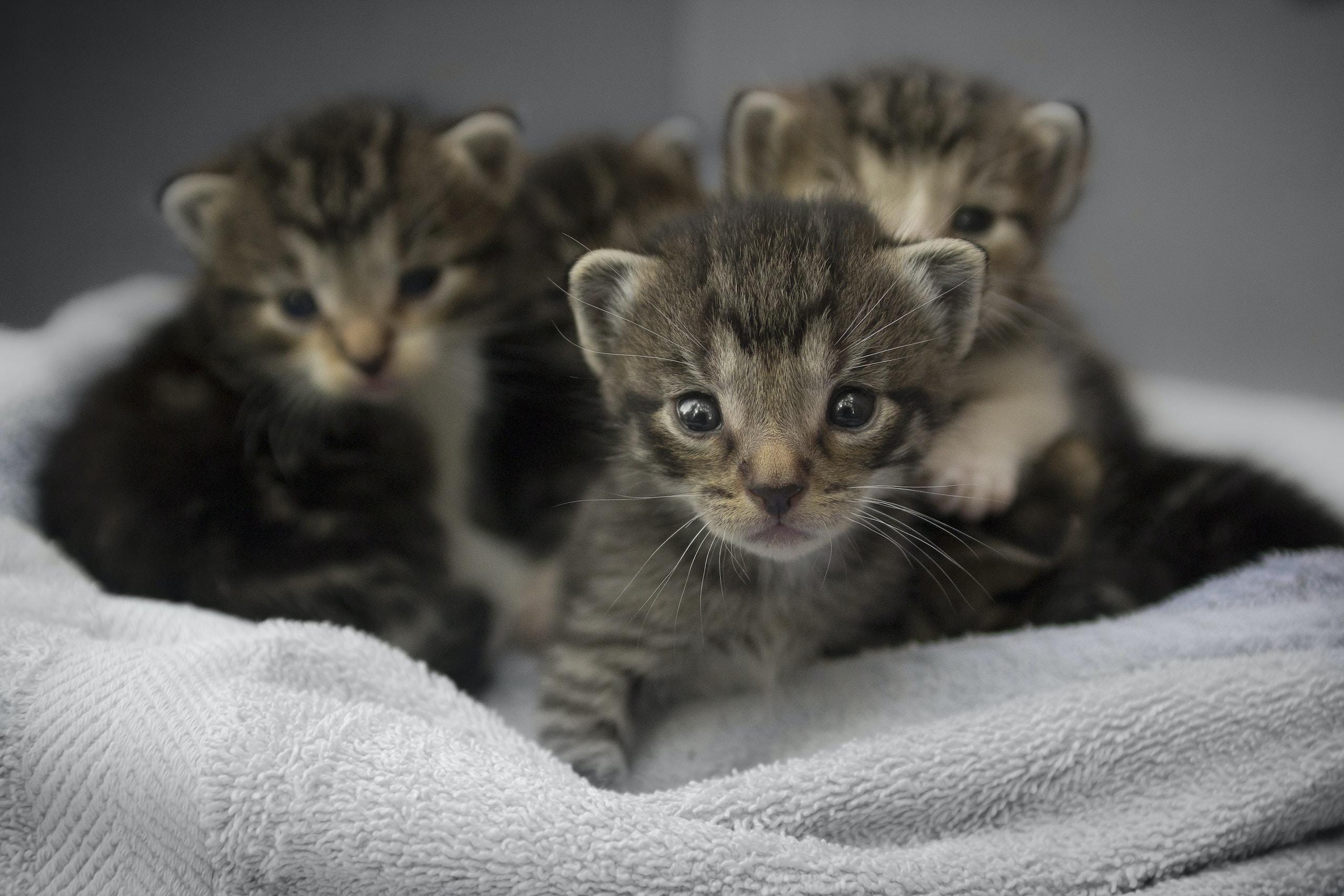 four brown tabby kittens