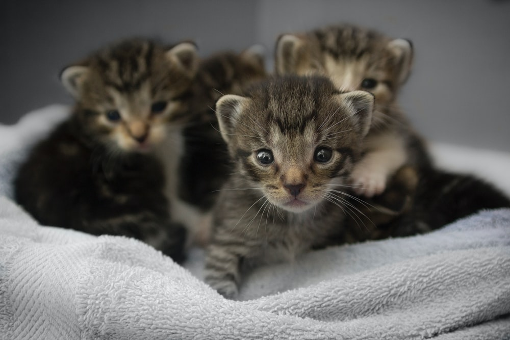 Close-up of several tabby kittens snuggled together on a blanket