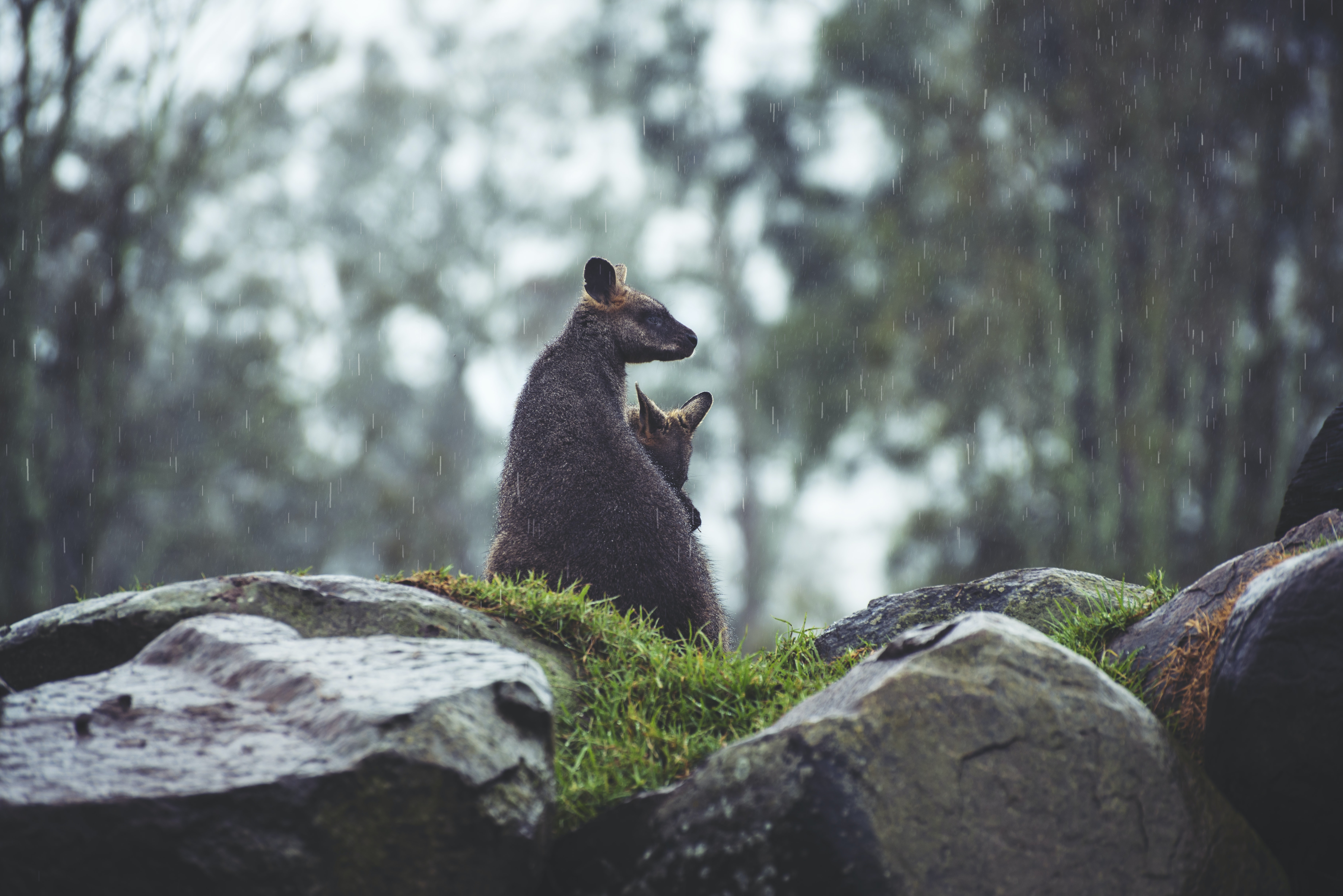 A kangaroo mama and joey are snuggled close on a rocky ledge under light rain