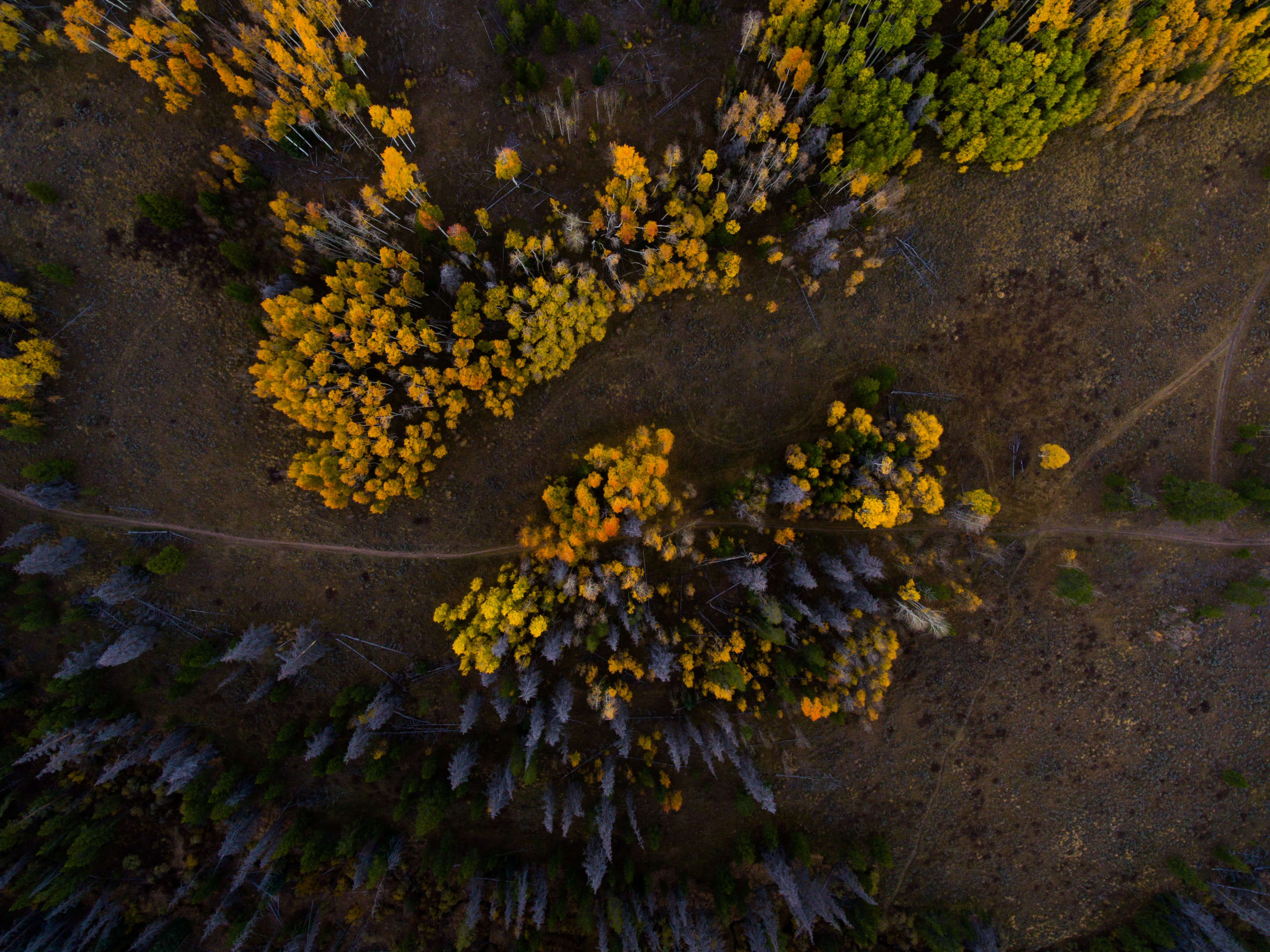 A drone shot of footpaths near clumps of yellow and gray trees in Silverthorne