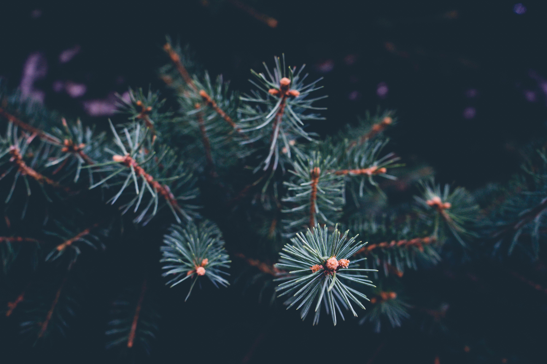 green pine tree closeup photography