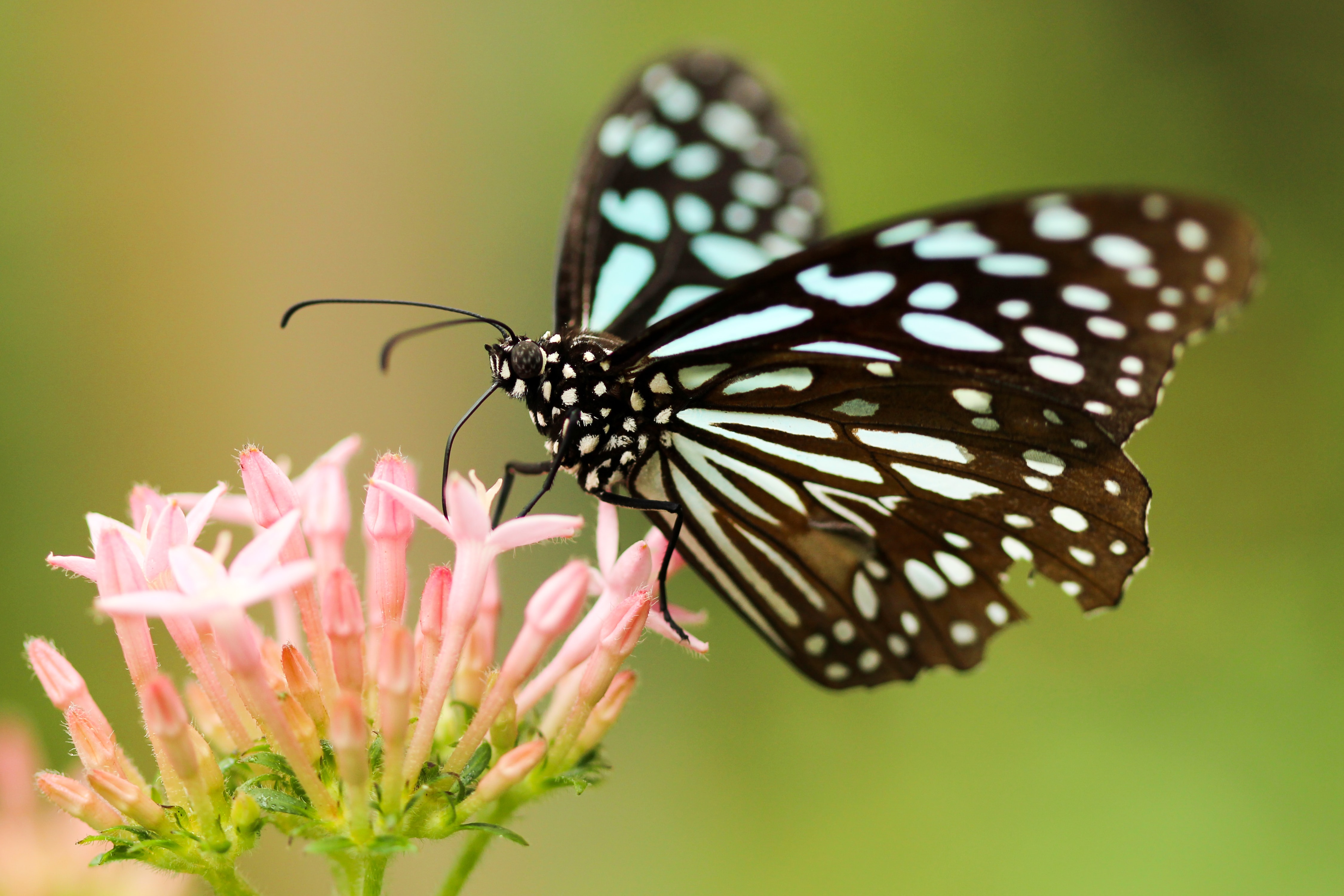 A black and white butterfly on a pink flower.