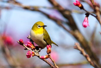 yellow bird on sakura tree bird teams background
