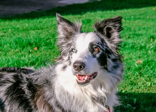 adult black and white Australian cattle dog