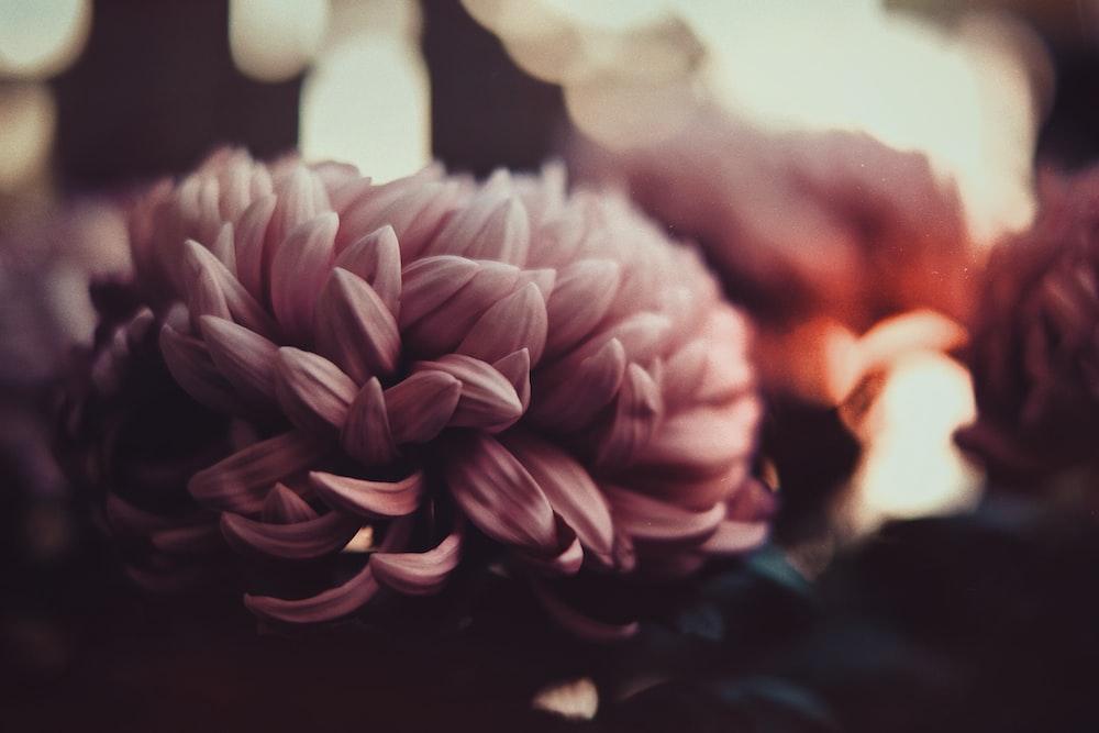chrysanthemum japan floral history