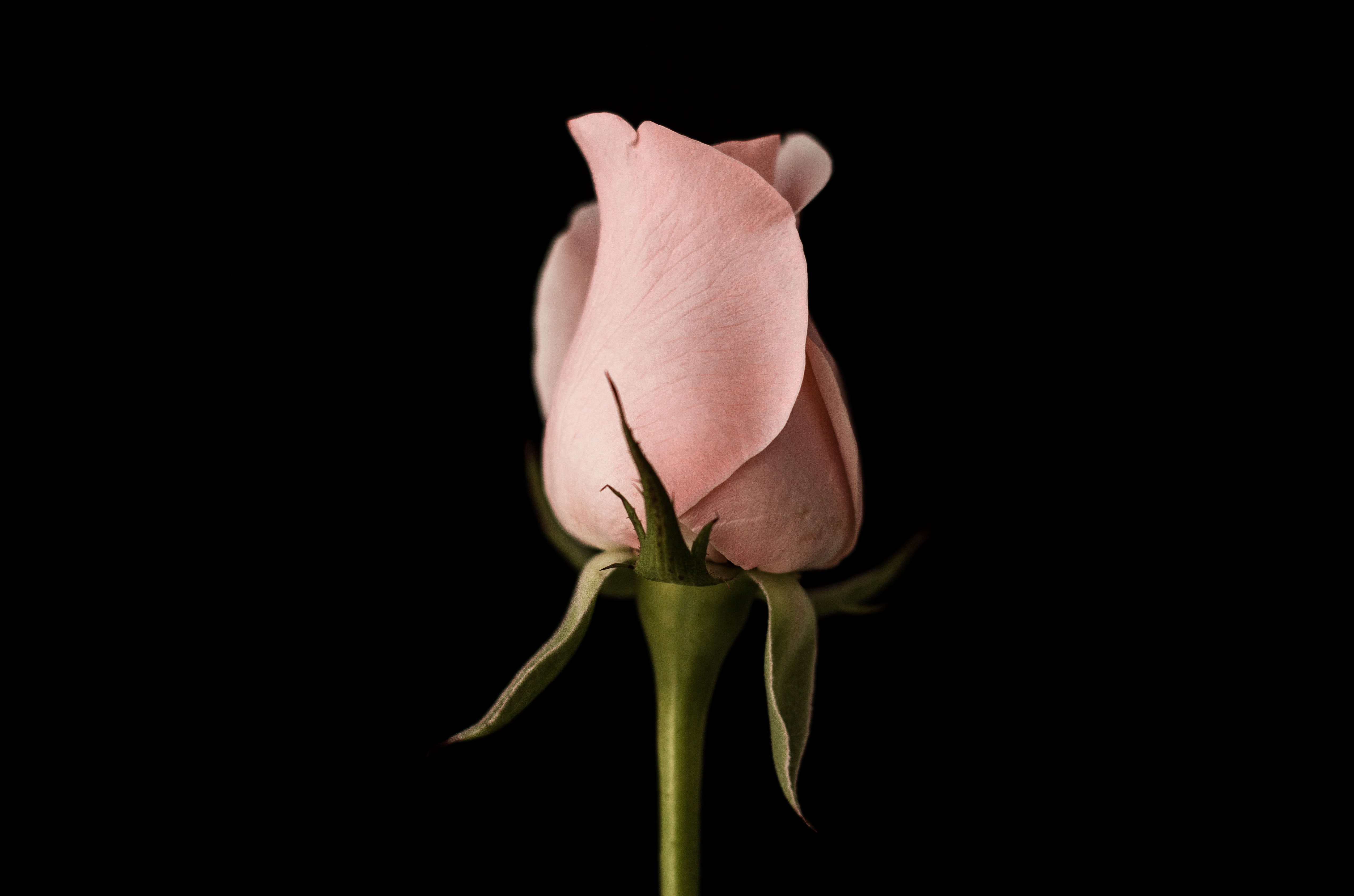 pink rose bud closeup photo