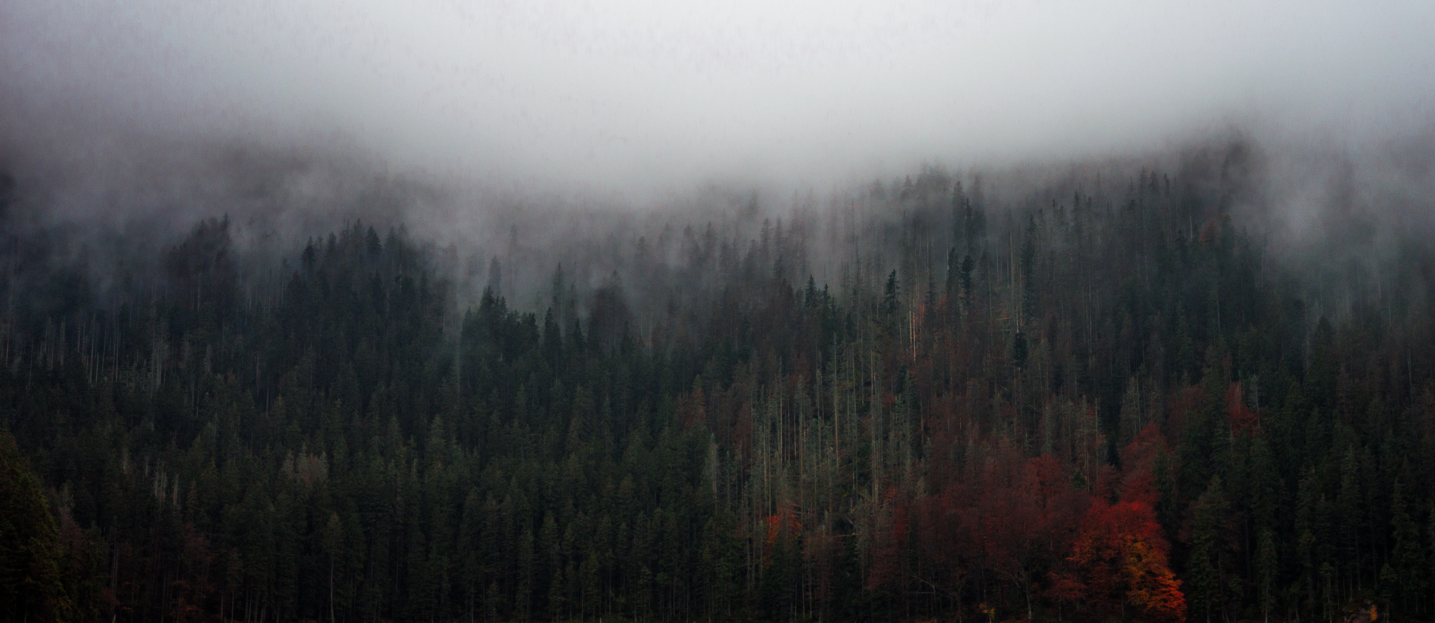 Tall trees with dark green and red leaves under a thick mist