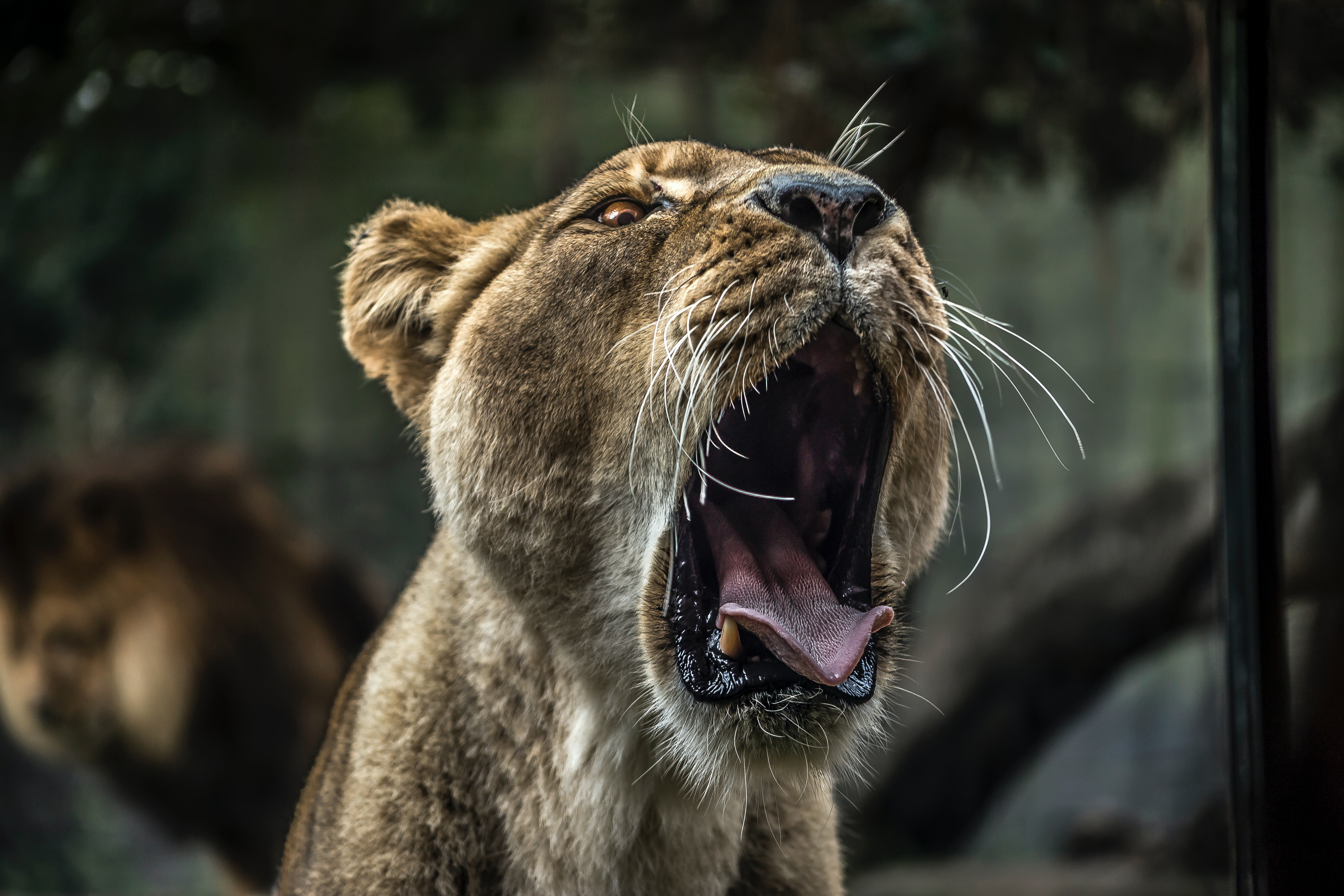 Image of a growling lion.