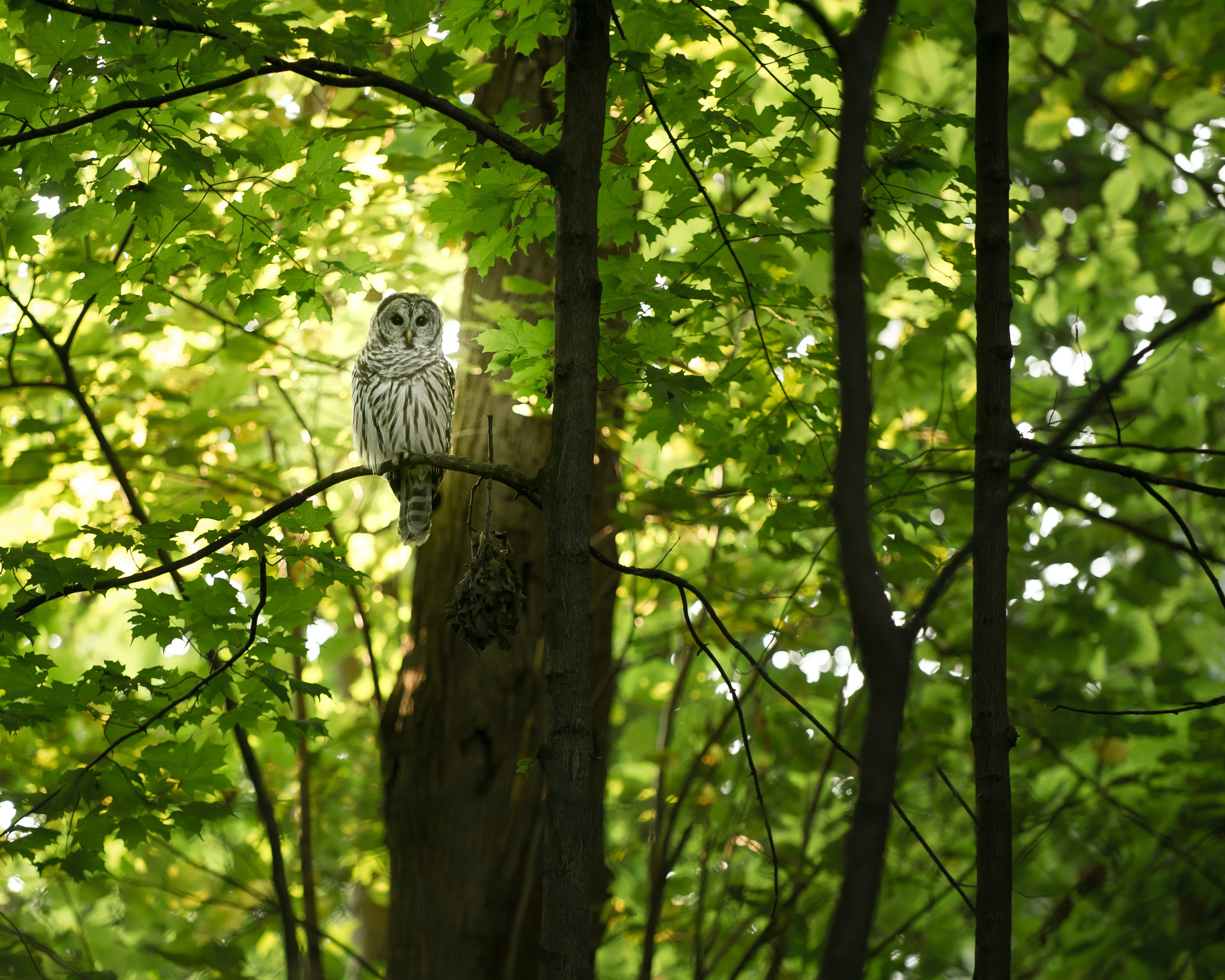 An owl perched on a branch of a green maple tree in Madison