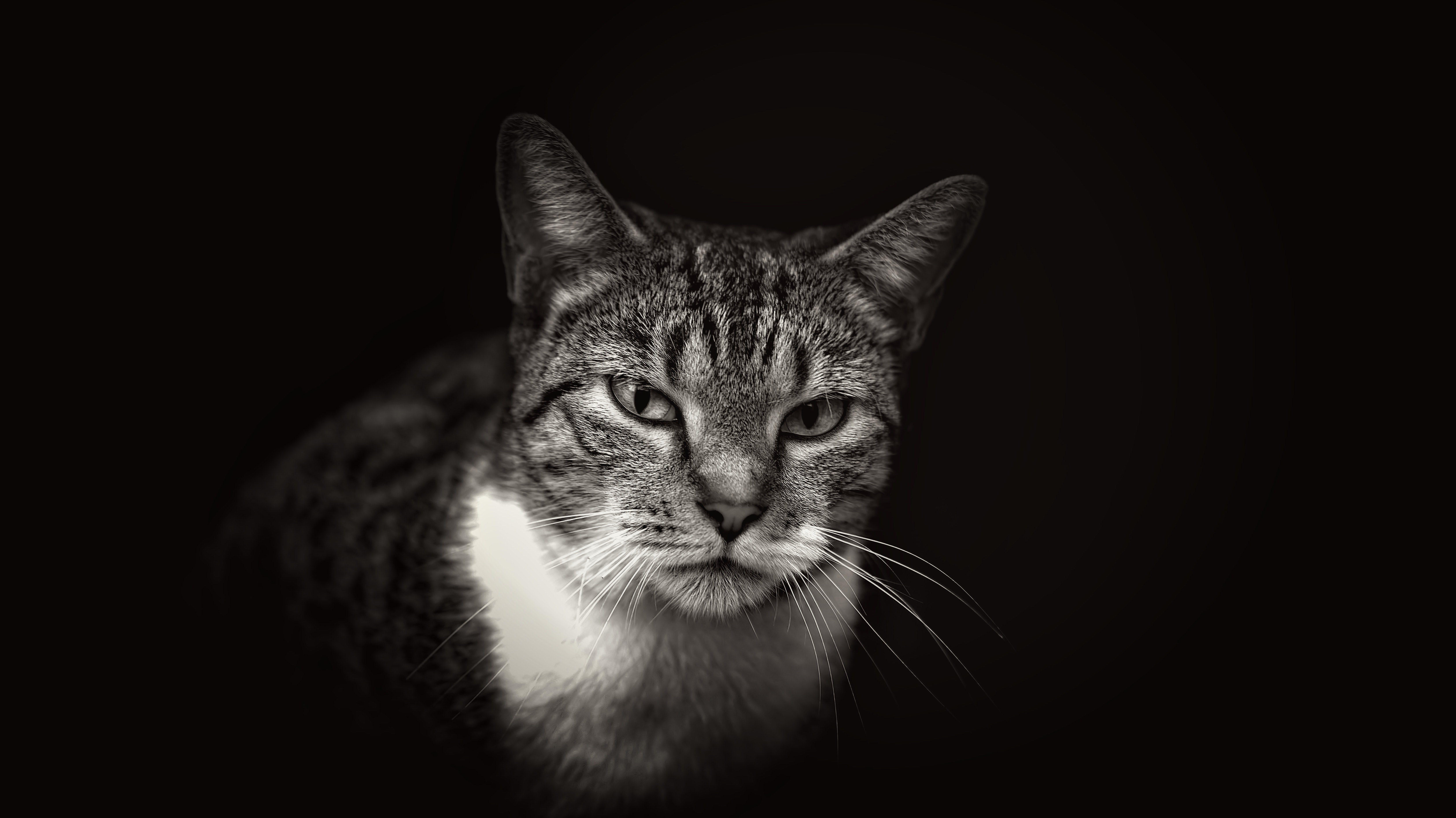 Black and white close up of domestic cat with white neck on dark background in Miami