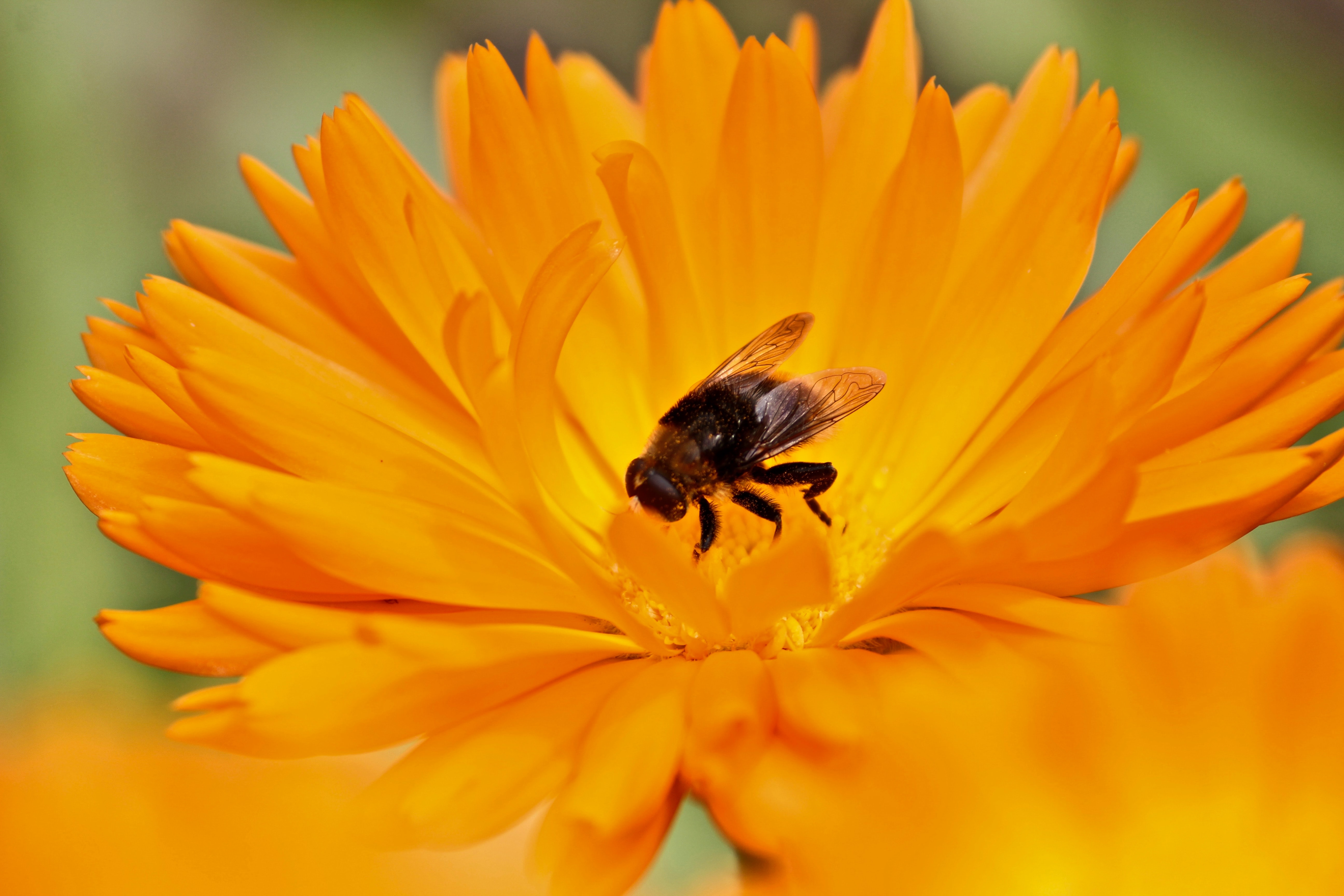 A macro shot of a bee in the center of a bright yellow flower