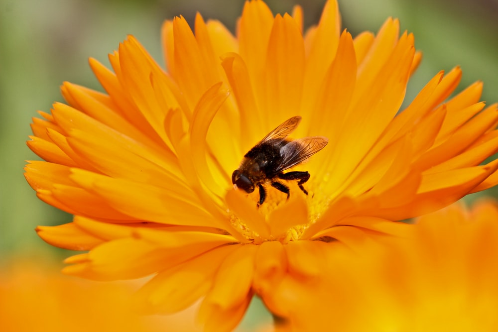 bee on orange gerbera flower