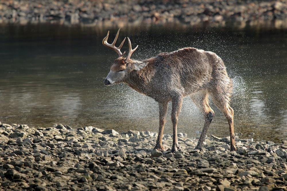 brown deer near body of water