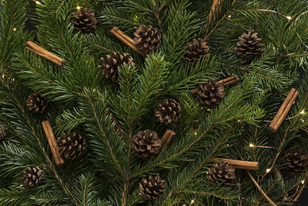 brown pine cones in pine tree